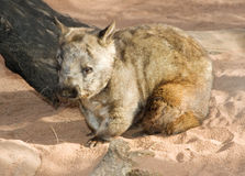 Wombat sitting Stock Photos