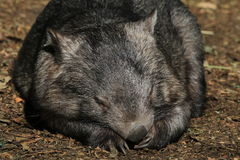 Wombat Sleeping. Australian native animal, a common wombat Royalty Free Stock Photos