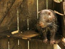 Wombat soñoliento pensativo Imagen de archivo libre de regalías