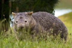 Wombat solitaire forageant 4 Photos stock