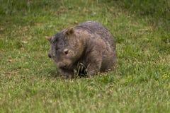 Wombat solitaire forageant 2 Images libres de droits