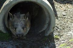 Wombat sospechado melenudo meridional, Albany, WA, Australia imágenes de archivo libres de regalías