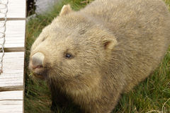 Wombat, Tasmania, Australia Royalty Free Stock Photos