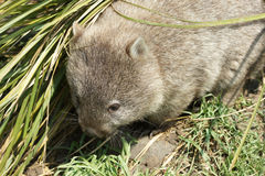 Wombat, Tasmania, Australia Stock Photos