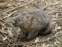 Wombat velu de nez Image stock
