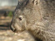Wombat velu de nez Images libres de droits