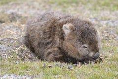 Wombat w Narawntapu parku narodowym Zdjęcia Stock