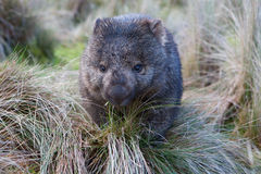 Wombat w obszarze trawiasty Obraz Royalty Free