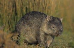 Wombat w polu Fotografia Stock
