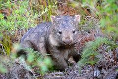 Wombat w Wilsons cypla parku narodowym Zdjęcia Stock