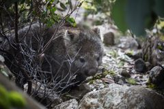 Wombat of Australia. A wombat in the wild busy foraging for food. Tasmanian highlands Cradle Mountain National Park Stock Photos