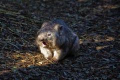 Wombat ziewanie Zdjęcia Royalty Free