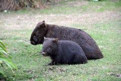 wombats 免版税库存照片