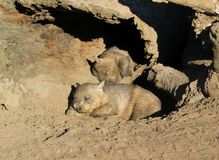 Wombats. Two lazy wombats sleeping royalty free stock photo