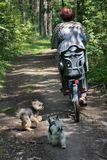 Women with bike with two running dogs in green summer forest. Fitness women with bike with two running playing funny dogs in green summer pine forest stock photo