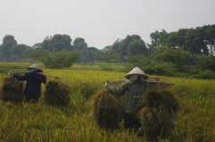 Women carrying sheaves of rice Stock Photos