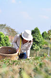 Women Collect Tea Leaves. _North Thailand royalty free stock photos
