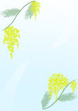 Women day. Mimosa branches under the sunlight Royalty Free Stock Photo
