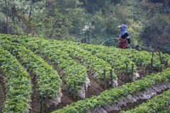 women doing spraying pesticides at strawberry farm. royalty free stock photography
