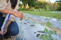 Women examining disease a tomato plant in a farm. Royalty Free Stock Photography