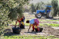 Women farmers during the campaign of olive in a field of olive t Stock Images