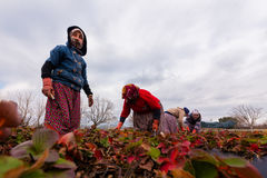 Women Farmers work in strawberry fields Royalty Free Stock Images