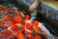 Women feeding fancy carps Royalty Free Stock Photo