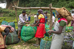 Women with fresh tea leafs in the basket at tea plantations Stock Photography