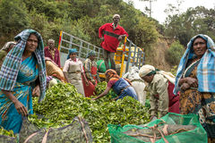 Women with fresh tea leafs in the basket at tea plantations Royalty Free Stock Images