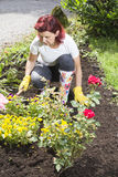 Women gardener arranging her roses Royalty Free Stock Photography
