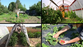 Women gardener care plants and harvest in garden. Clips collage stock footage