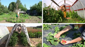 Women gardener care plants and harvest in garden. Video collage stock video footage