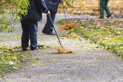Women Gardener raking fall leaves Royalty Free Stock Images