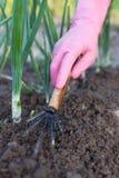 Women Gardener With Tool Hoe Hoeing Grass In Vegetable Garden. Stock Photos