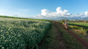 The women go on the way inside The mustard field with white flower in DonDuong - Dalat- VietNam Royalty Free Stock Photo
