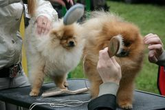 Dog. Women grooming fluffy dogs in park Stock Photos