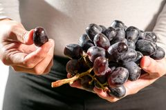 Women hand hold the brunch of the black grape, fresh grape harvest Royalty Free Stock Image