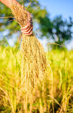 Women hand hold rice on rice field, focus women hand Royalty Free Stock Photography