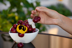Women hand holding fresh cherries royalty free stock photo