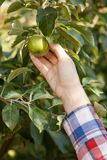 Women hand picking green apple from branch Royalty Free Stock Photo