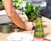 Women hand planting a flower in the pot. Women hand planting a houseplant in the pot, mess in process on the table with sprayers,black earth,pot,scissors royalty free stock images