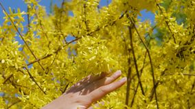 Women Hand Touches And Caressing The Blooming Yellow Flowers Of The Forsythia. Close-up of female hand tenderly touching yellow blossoms caressing twig branch of stock footage