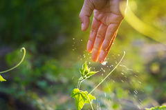 Women hand watering young plants in sunshine on nature background Royalty Free Stock Image