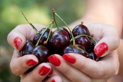 Women hands full of freshly sweet cherries Royalty Free Stock Image