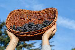 Women hands holding freshly harvested black grapes ready for winemaking. In a wicker basket against blue sky background. Grapes is the gift of the sun Royalty Free Stock Image