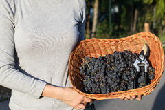 Women hands holding freshly harvested black grapes ready for winemaking in a wicker basket Stock Images