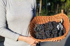 Women hands holding freshly harvested black grapes ready for winemaking in a wicker basket. Sun set golden hour light Stock Images