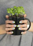 Women hands holds black mug with small growing basil plant. Women hands with gray and green manicure holds black mug with small growing basil plant Stock Image