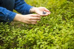 Women hands picking wild blueberries. Royalty Free Stock Photography