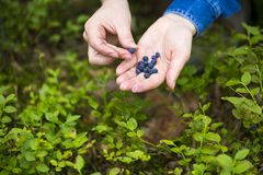 Women hands picking wild blueberries. Royalty Free Stock Photo